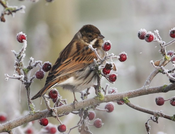 26-11-16-reed-bunting-male-frodsham-marsh-tony-broome-6