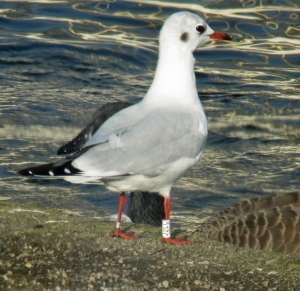 31-10-16-3-year-old-male-black-headed-gull-colour-ringed-j2lc-spike-island-bill-morton-19