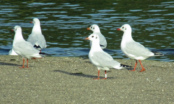 31-10-16-3-year-old-male-black-headed-gull-colour-ringed-j2lc-spike-island-bill-morton-23