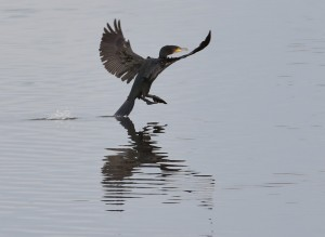 13.11.16. Cormorant, Weaver Estuary, Frodsham Marsh. Tony Broome