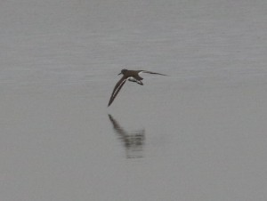 13.11.16. Common Sandpiper, Weaver Estuary, Frodsham Marsh. Tony Broome