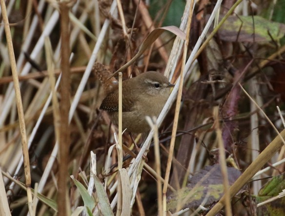 13.11.16. Cetti's Warbler, Frodsham Marsh. Tony Broome