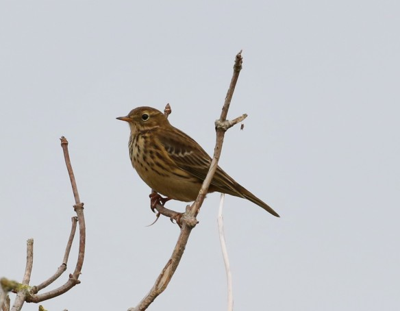 13.11.16. Meadow Pipit, Frodsham Marsh. Tony Broome