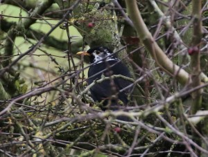 13.11.16. Partial leusistic Blackbird, Frodsham Marsh. Tony Broome