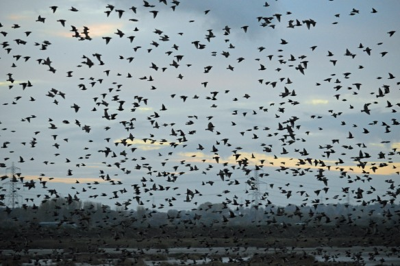 12.11.16. Starlings, No.6 tank, Frodsham Marsh. Bill Morton