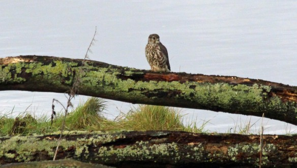 12.11.16. female Merlin, Frodsham Marsh. Paul Ralston