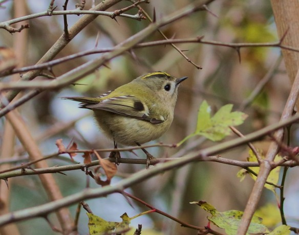 03-12-16-goldcrest-pickerings-pasture-tony-broome-1