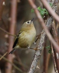 03-12-16-goldcrest-pickerings-pasture-tony-broome-2