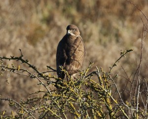 04-12-16-common-buzzard-frodsham-marsh-tony-broome-2