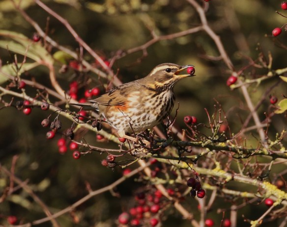 04-12-16-redwing-frodsham-marsh-tony-broome