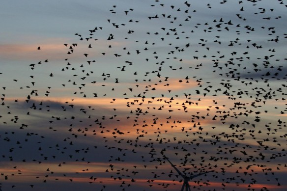 04-12-16-starling-roost-no-6-tank-frodsham-marsh-tony-broome-1