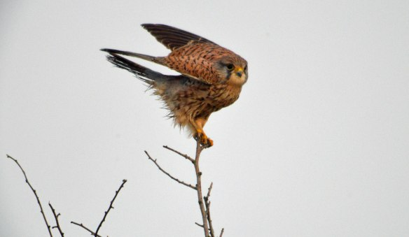 05-12-16-immature-male-kestrel-town-lane-hale-cheshire-bill-morton-16