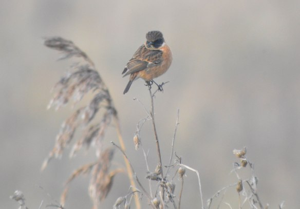 05-12-16-stonechat-male-no-5-tank-frodsham-marsh-cheshire-bill-morton-2