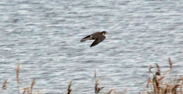 10-12-16-female-merlin-manchester-ship-canal-frodsham-marsh-paul-ralston-4