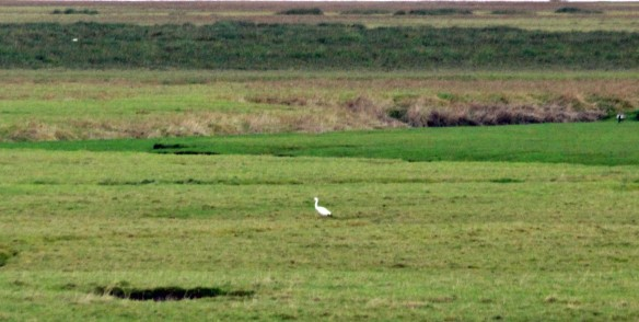 10-12-16-great-white-egret-frodsham-score-frodsham-marsh-paul-ralston-5
