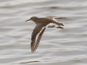 11-12-16-common-sandpiper-frodsham-marsh-tony-broome