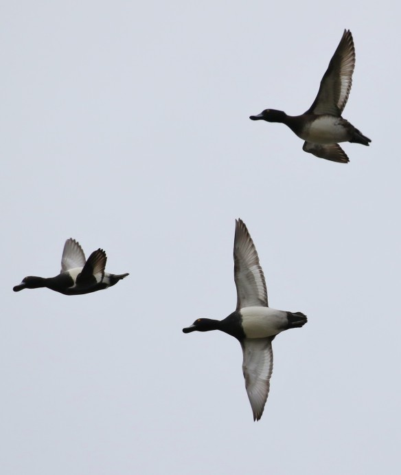 11-12-16-tufted-duck-with-one-flying-upside-down-frodsham-marsh-tony-broome
