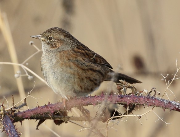 18-12-16-dunnock-frodsham-marsh-tony-broome-2