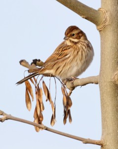 18-12-16-reed-bunting-female-frodsham-marsh-tony-broome-1