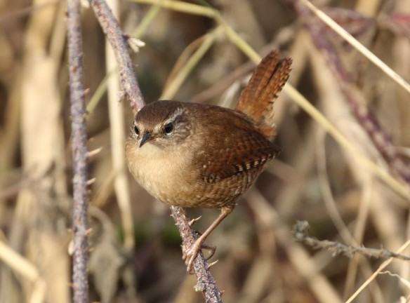 18-12-16-wren-frodsham-marsh-tony-broome-3