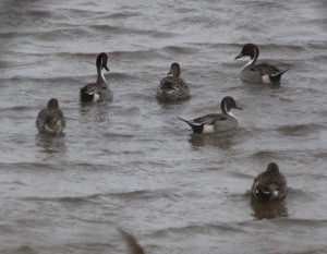23-12-16-black-tailed-godwits-no-6-tank-frodsham-marsh-paul-ralston-4