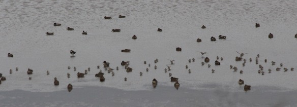 23-12-16-black-tailed-godwits-no-6-tank-frodsham-marsh-paul-ralston-5