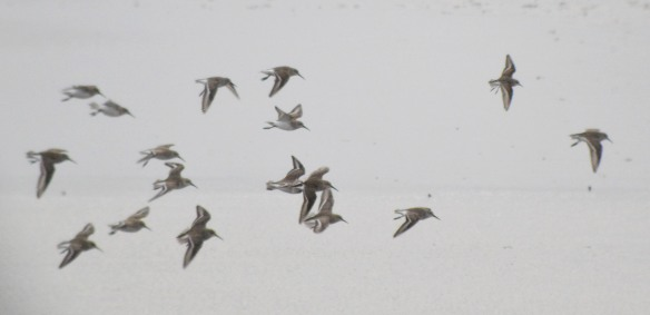 24-12-16-little-stint-no-6-tank-frodsham-marsh-bill-morton-14