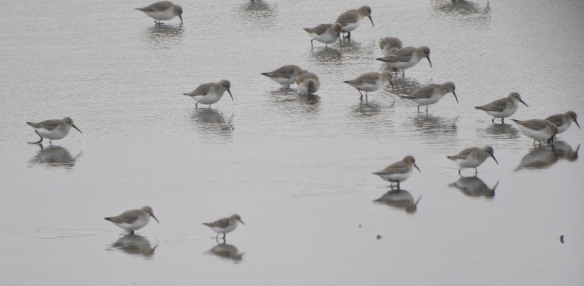 24-12-16-little-stint-no-6-tank-frodsham-marsh-bill-morton-29