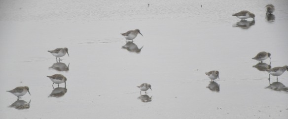 24-12-16-little-stint-no-6-tank-frodsham-marsh-bill-morton-31