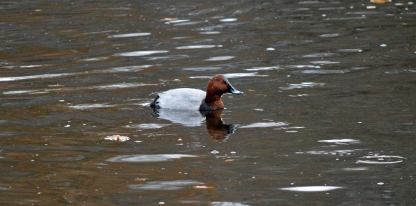 27-11-16-pochard-male-tatton-mere-tatton-park-bill-morton-1
