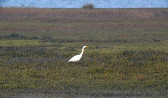 27-12-16-great-white-egret-frodsham-score-frodsham-marsh-bill-morton-2