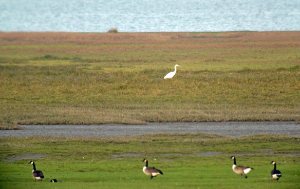 27-12-16-great-white-egret-frodsham-score-frodsham-marsh-bill-morton-5
