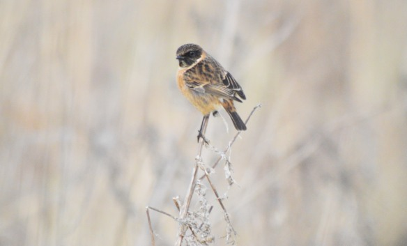 27-12-16-male-stonechat-no-5-tank-frodsham-marsh-bill-morton-2