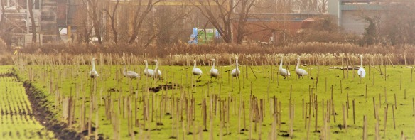 27-12-16-whooper-swans-ince-marsh-fields-paul-ralston