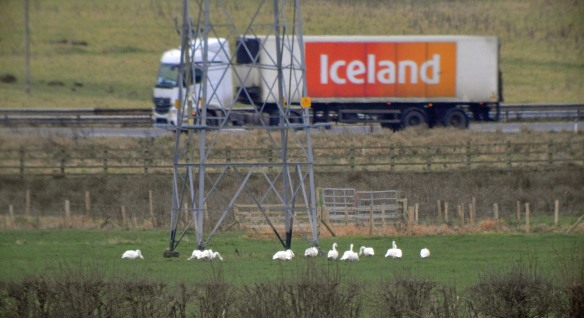31-12-16-whooper-swans-and-iceland-truck-frodsham-marsh-bill-morton