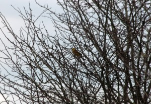 31-12-16-yellowhammer-frodsham-marsh-paul-ralston