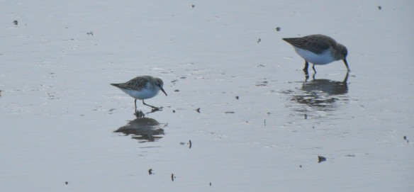 01-01-17-little-stint-and-dunlin-no-6-tank-frodsham-marsh-bill-morton
