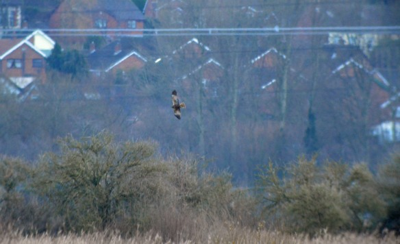 01-01-17-marsh-harrier-no-4-tank-frodsham-marsh-bill-morton