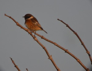 02-01-017-stonechat-no-4-tank-frodsham-marsh-bill-morton-8