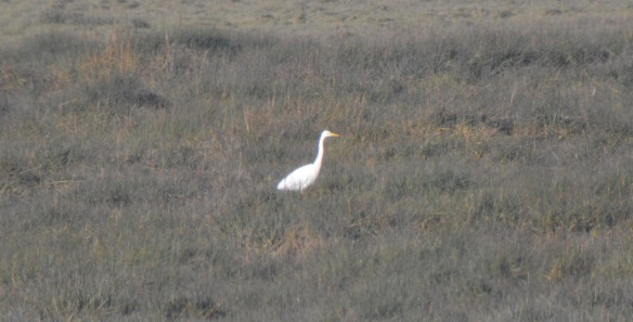 02-01-17-great-white-egret-frodsham-score-frodsham-marsh-bill-morton-5