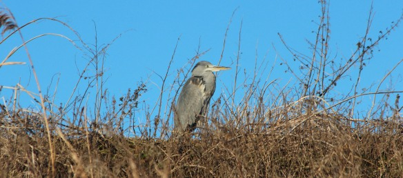 02-01-17-grey-heron-no-6-tank-frodsham-marsh-paul-ralston