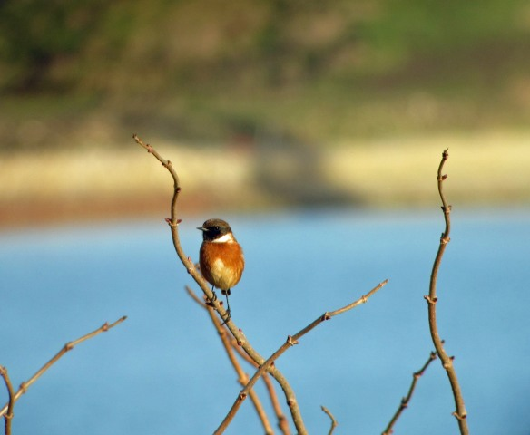 02-01-17-stonechat-male-no-4-tank-frodsham-marsh-bill-morton-2