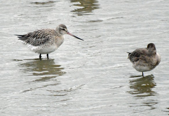 16-01-17-bar-tailed-godwit-no-6-tank-frodsham-marsh-bill-morton-2