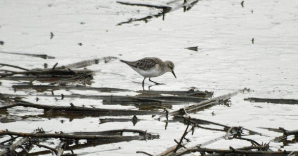 16-01-17-dunlins-and-little-stint-no-6-tank-frodsham-marsh-bill-morton-28