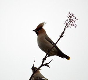 16-01-17-waxwings-milner-road-warrington-bill-morton-17