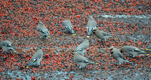 16-01-17-waxwings-milner-road-warrington-bill-morton-6