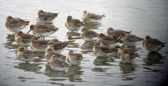 21-01-17-black-and-bar-tailed-godwits-and-ruff-no-6-tank-frodsham-marsh-bill-morton-9