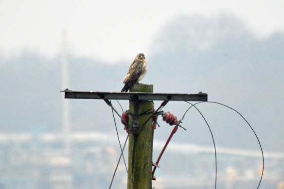 21-01-17-common-buzzard-pumping-station-frodsham-marsh-bill-morton