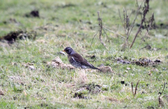 21-01-17-fieldfare-moorditch-lane-frodsham-marsh-bill-morton-6