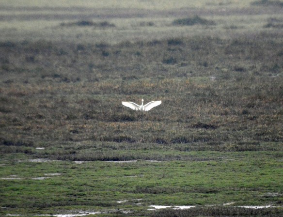 21-01-17-great-white-egret-frodsham-score-frodsham-marsh-bill-morton-4